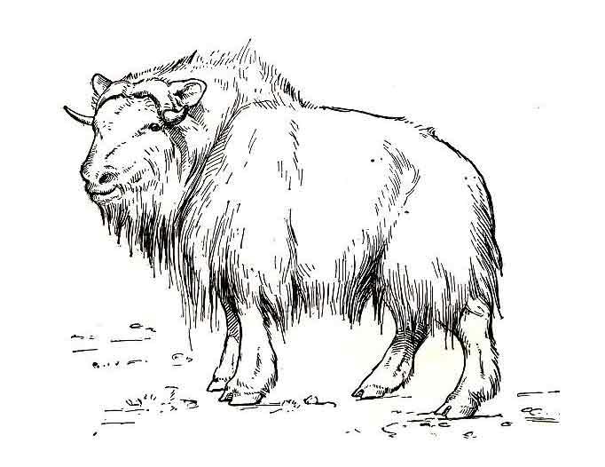 Coloriage boeuf musque - Bison coloriage ...